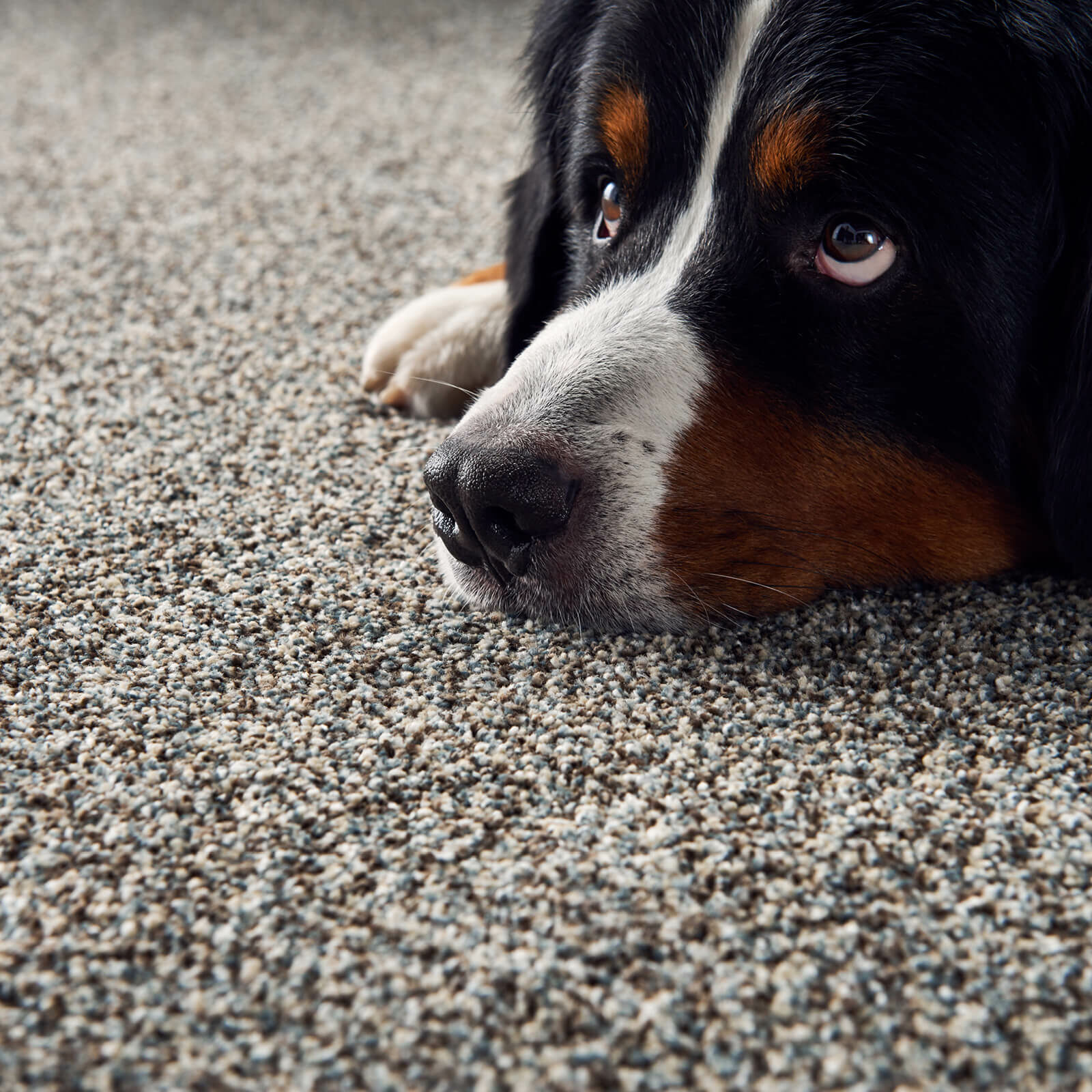 Dog on carpet | Vic's Carpet & Flooring